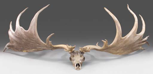 Irish Elk may have gone extinct due to the excesses of sexual selection